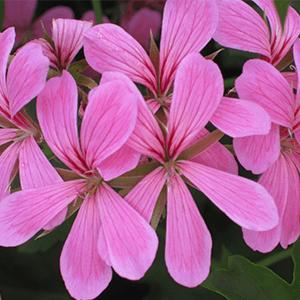 geranien in blute lila