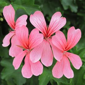 geranien in blute rosa