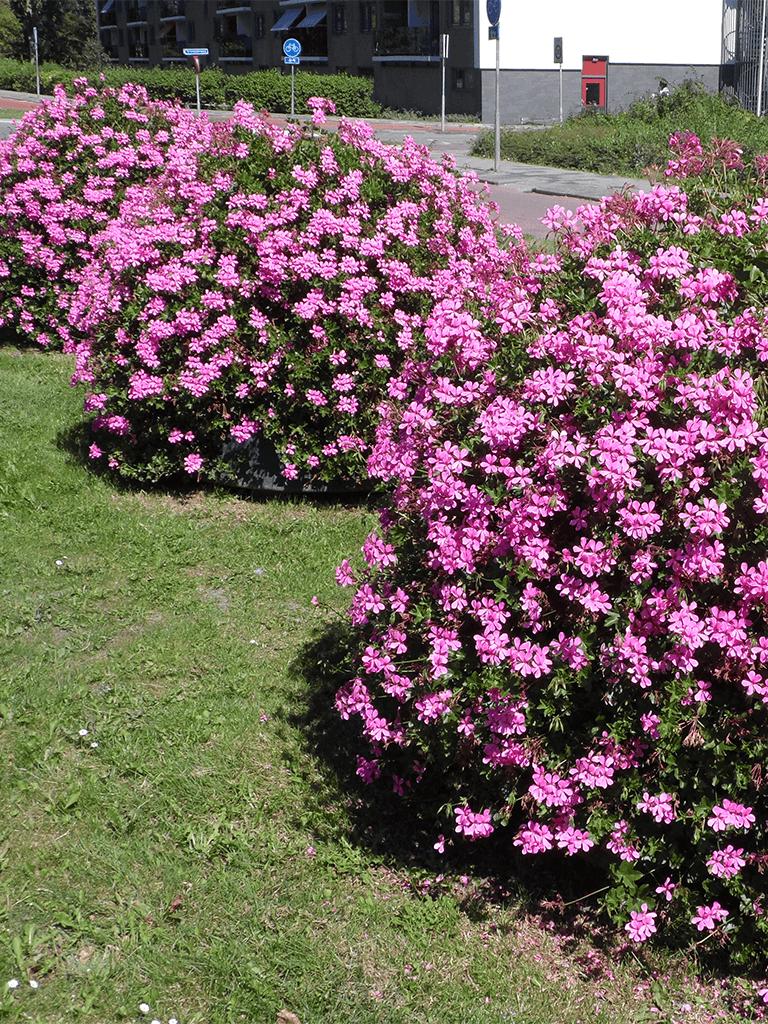 kugel lila