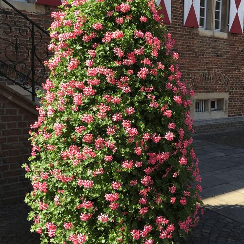 voorburg roze